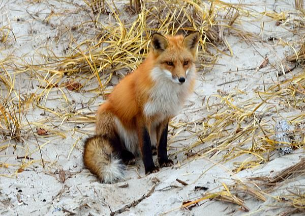 Island Beach State Park in winter, with fox.