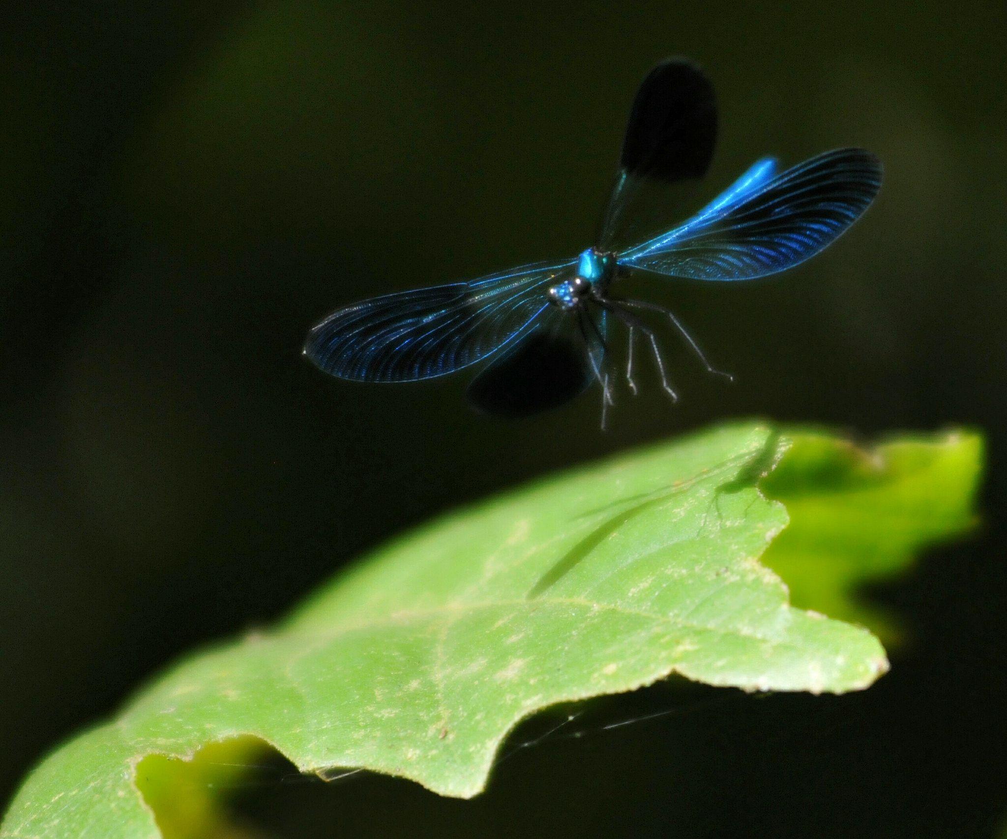 https://flic.kr/p/JBeSED | colorando le giornate... | libellula in atterraggio...