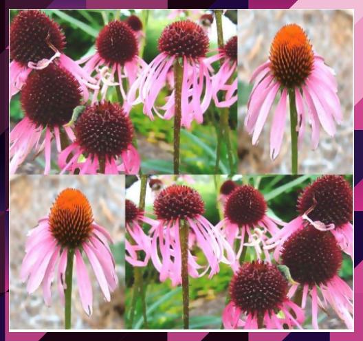 Photo of Echinacea #flower – learn grow #echinacea www.growplants.or… – Echinacea pla…