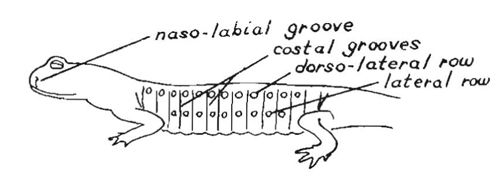 related keywords  u0026 suggestions for salamander anatomy