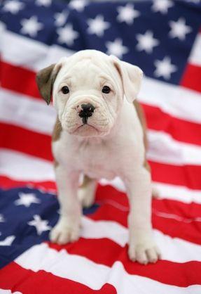 American Bulldog Dogs Pinterest Haustiere Welpen Und Feuerwerk