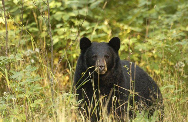 400 Pound Wounded Bear First Grabs Dog Then Bites Michigan Man Bear Black Bear Michigan