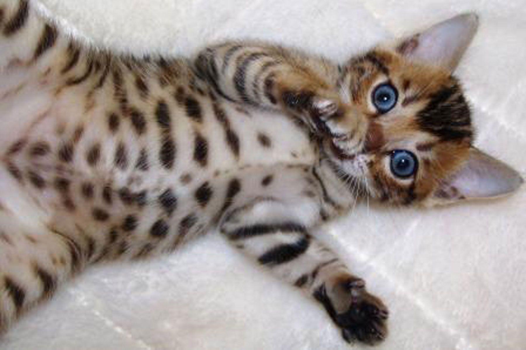 Bengal Cat Cat Breed Profile Bengal Kitten Kittens Cutest Cats