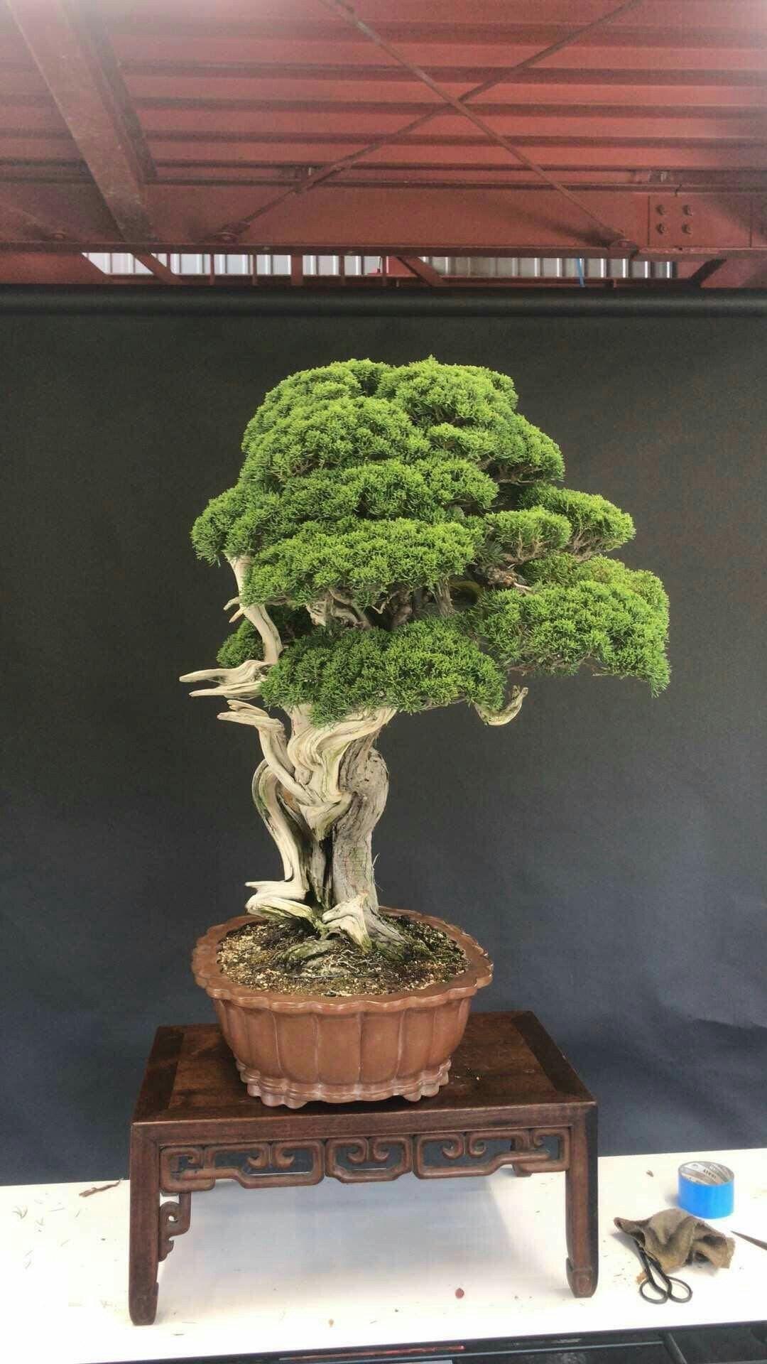 33 Beautiful Acer Bonsai Tree Pictures Bonsai Gallery Bonsai Bonsai Tree Acer Bonsai