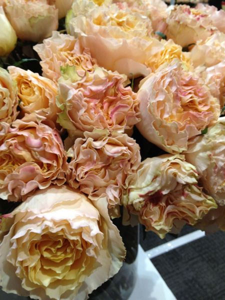 peach campanella garden roses all year