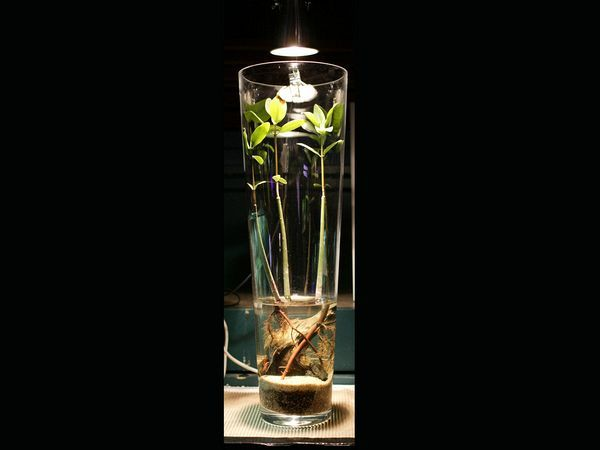 Mangrove Plants And Red Crystal Shrimps In Vase From