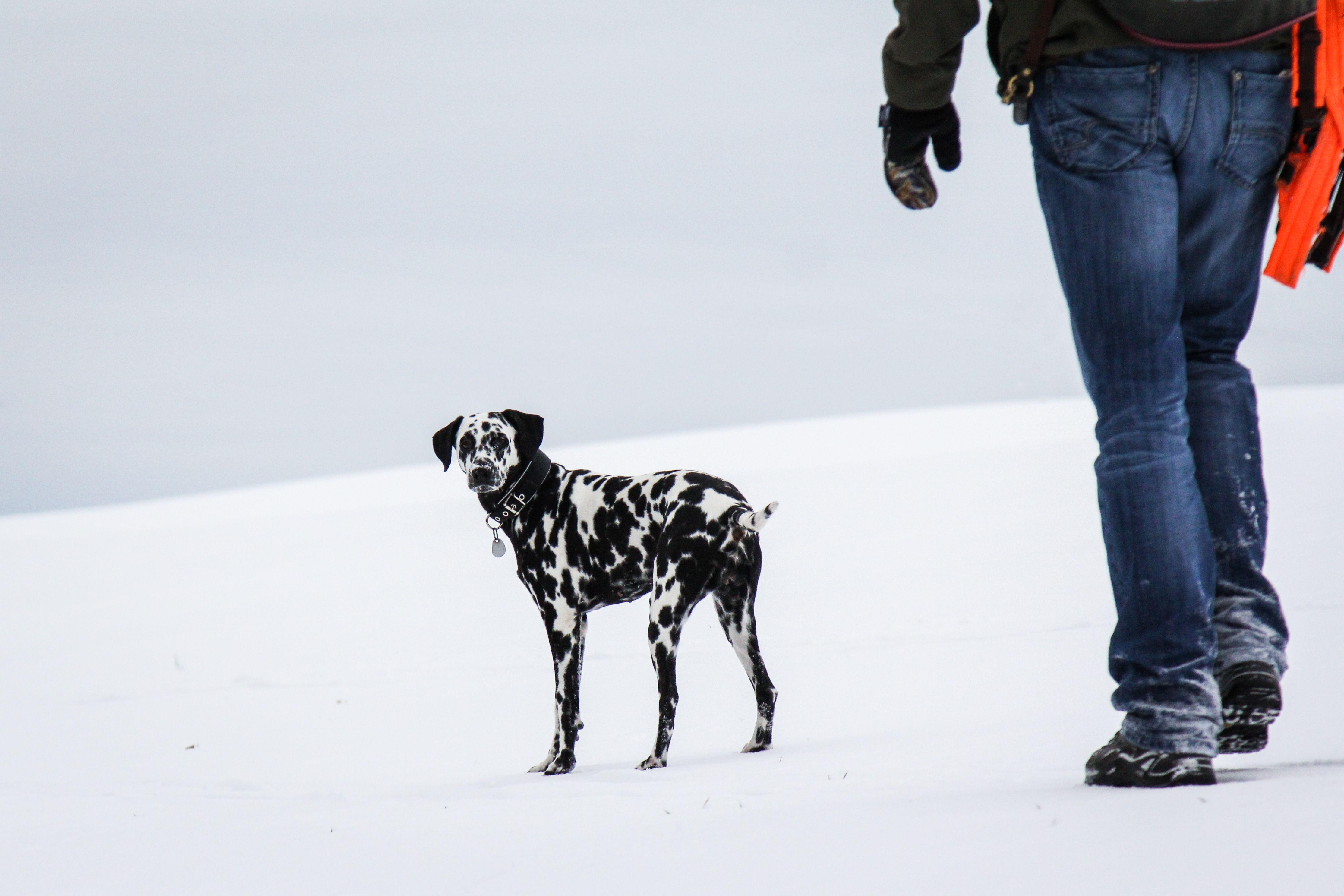 Fleckentier im Schnee