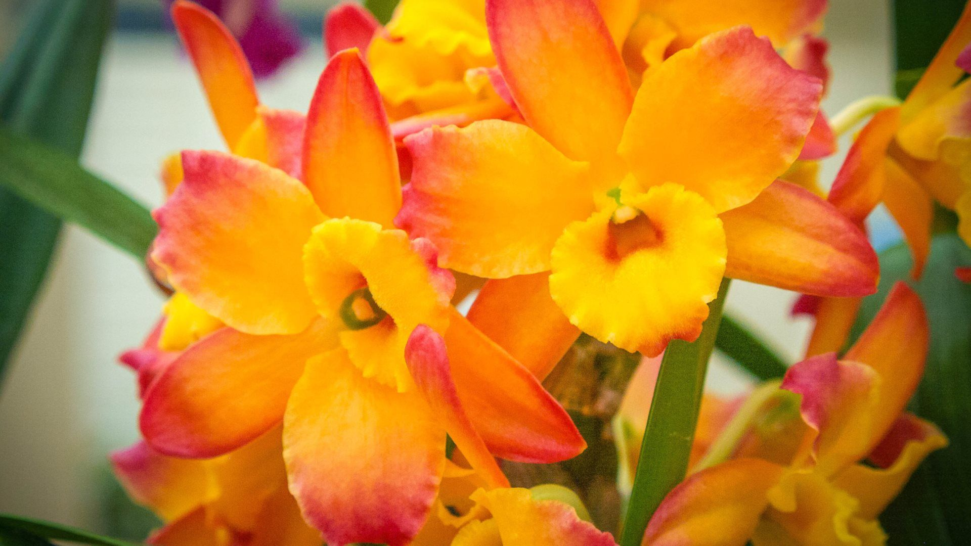 Pin by splinter cell on orchids uc pinterest orchid