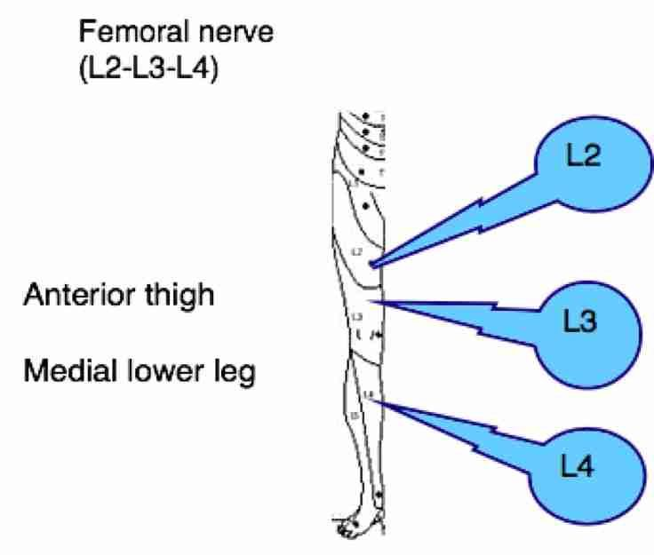 femoral nerve pain symptoms | spinal l1 to l5 | pinterest, Muscles