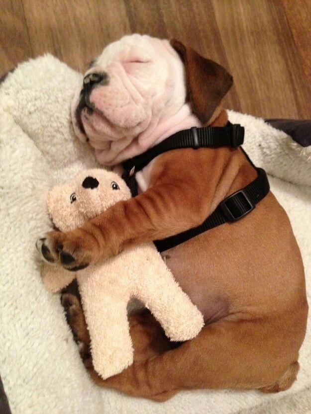 Puppy alseep with Teddy bear