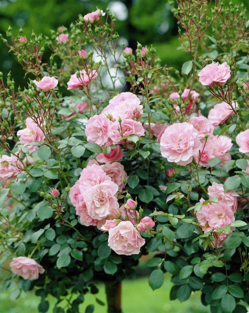 Rose 'Bonica' • Rosa 'Bonica' • Plants & Flowers • 99Roots.com