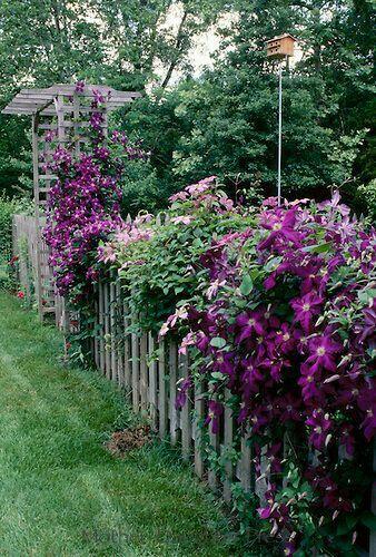 Amazing Jackmanii Clematis Along The Fence Line