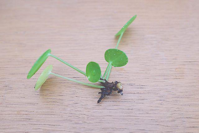 entretenir et bouturer un pil a p p romio des plantes d 39 int rieur pinterest plante jardin. Black Bedroom Furniture Sets. Home Design Ideas