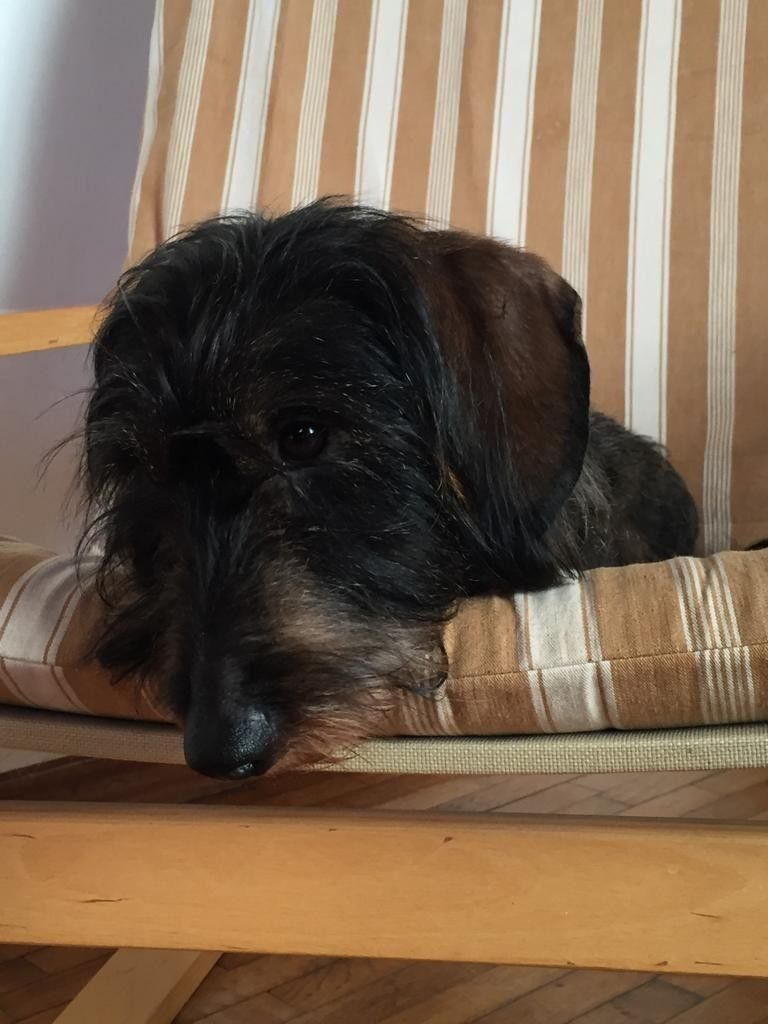 Pin By Maria Joao Vidigal On Doxie Doxies Dachshund Lovers Dachshund Love Wire Haired Dachshund