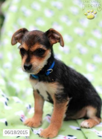 Yorkie Fox Terrier Mix Puppy For Sale In Ohio Buckeyepuppies