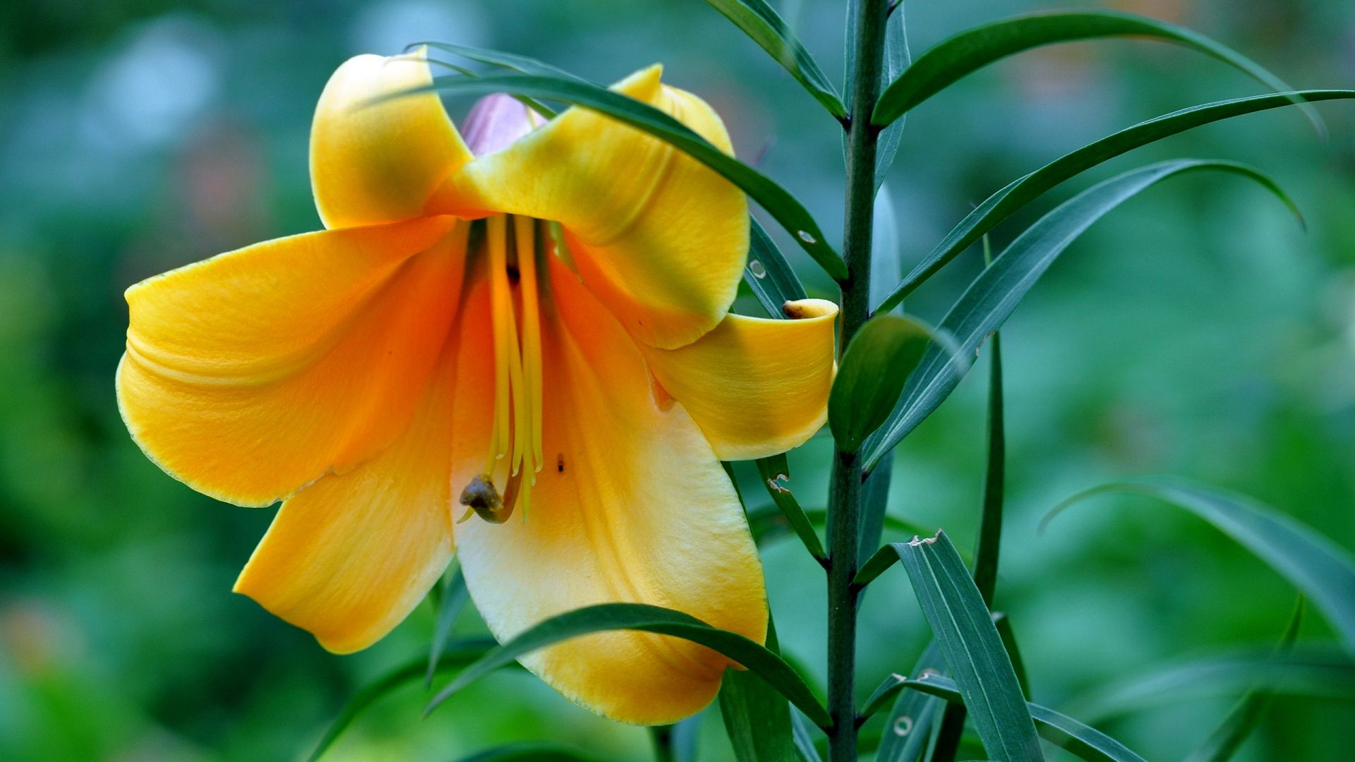Beautiful yellow lily flower 1920x1080 wallpapers pinterest beautiful yellow lily flower 1920x1080 izmirmasajfo