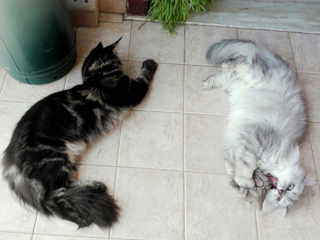 Baloo Kitty Maine Coon Romeo chinchilla persian cat and the