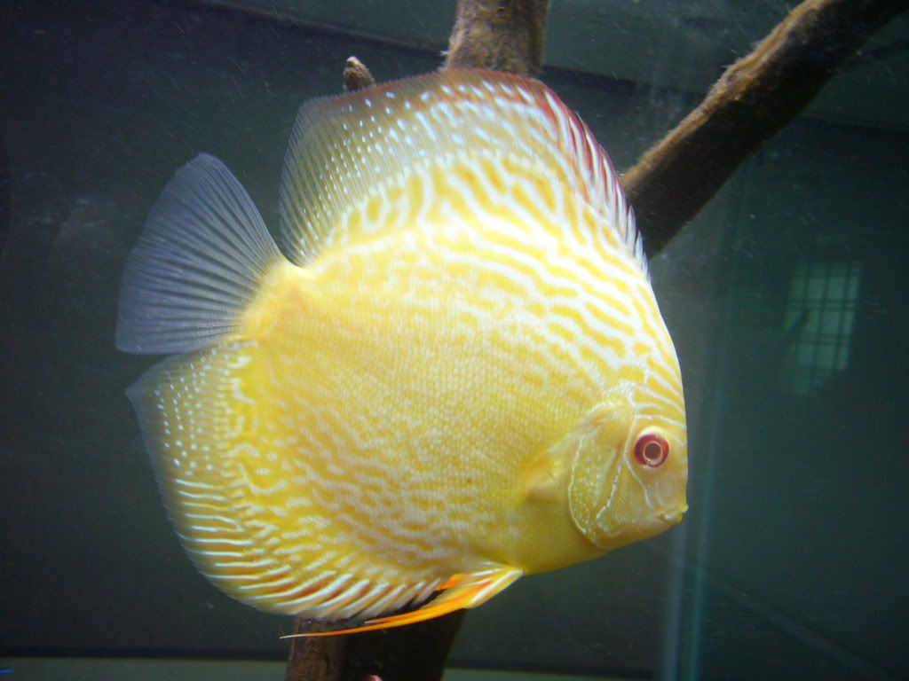 Sunny Yellow Discus Pigeon Fish Yellow Makes Me Smile