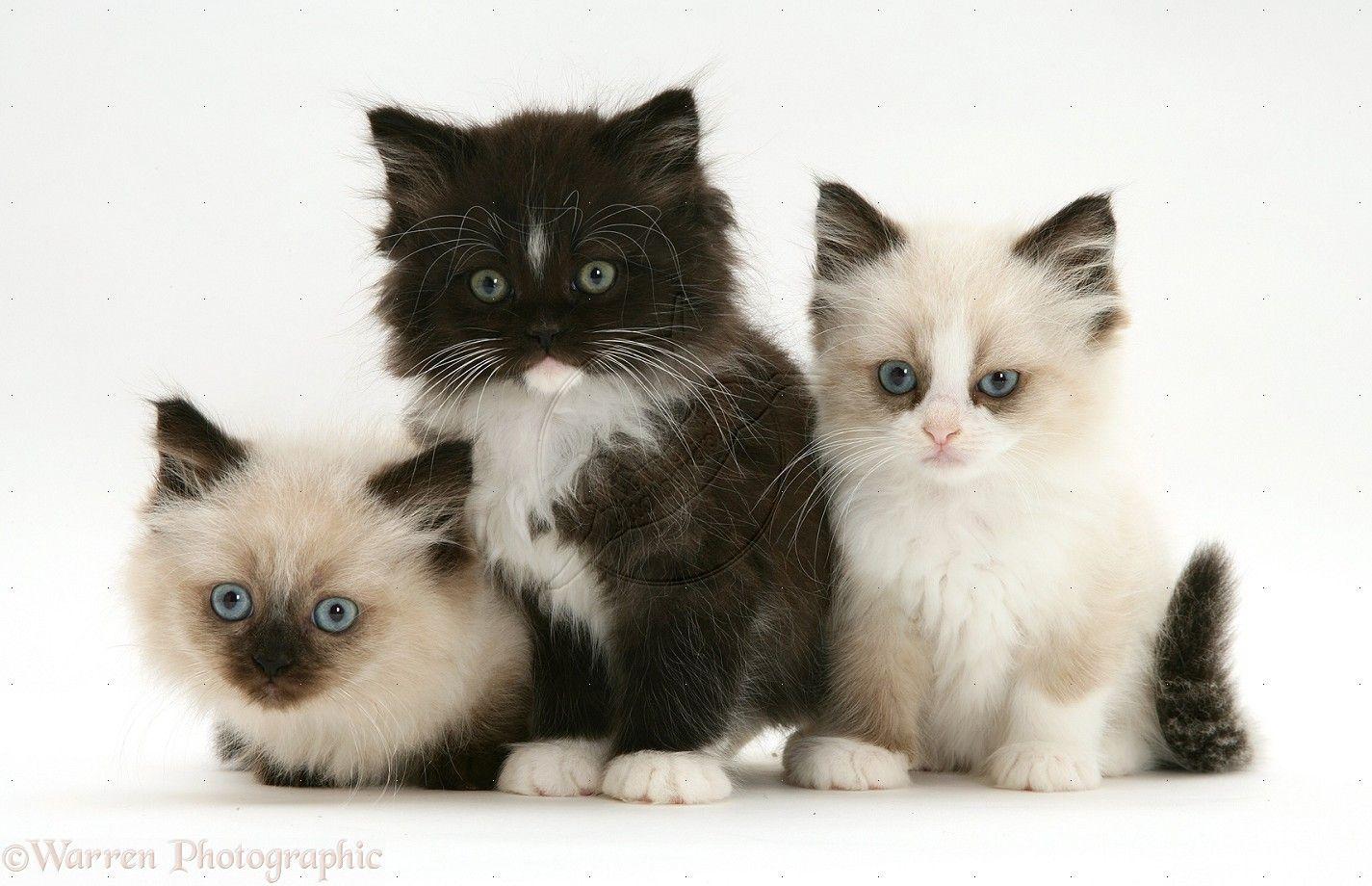 Three cute Persian kittens, just sitting, looking cute