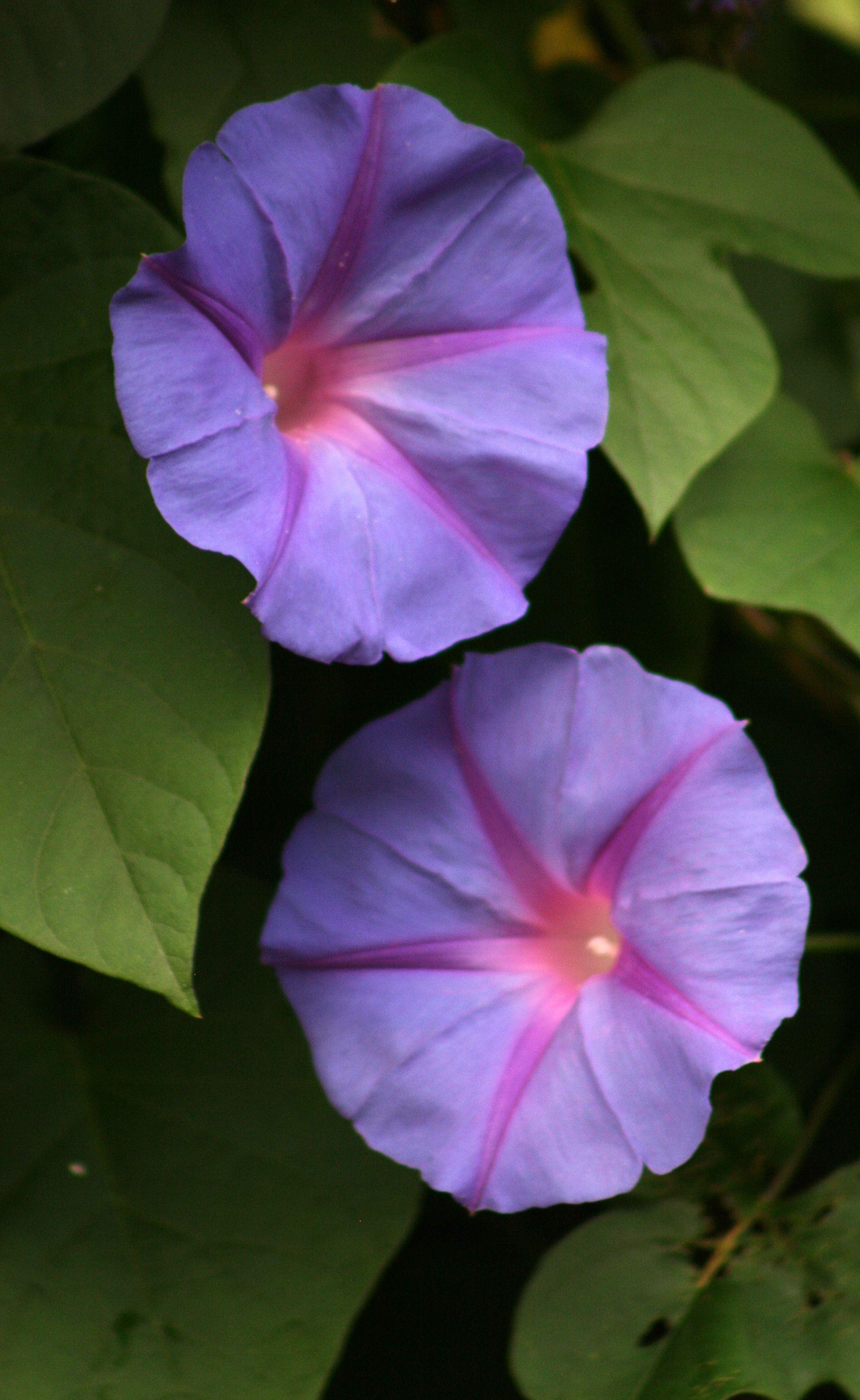 Morning Glory Morning Glory Flowers Purple Flowers Amazing Flowers