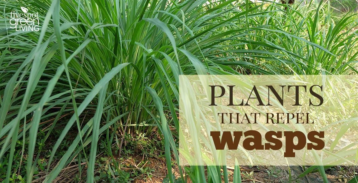 Do you know the best wasp repellent plants are to include