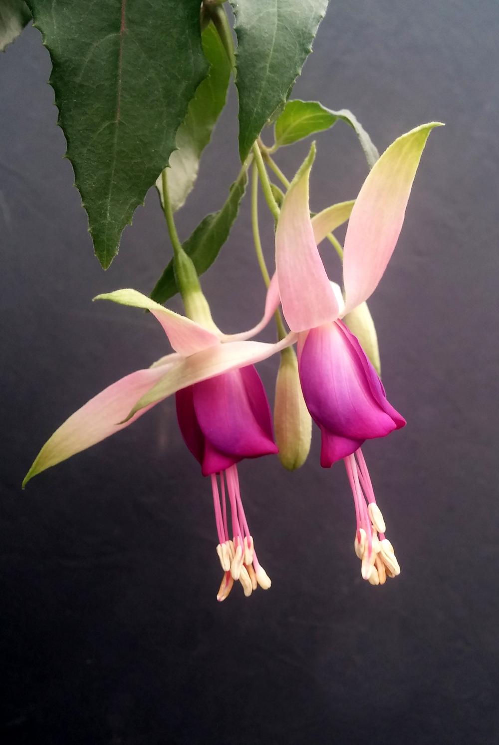 Wind Happer Fuchsia Flowers Image