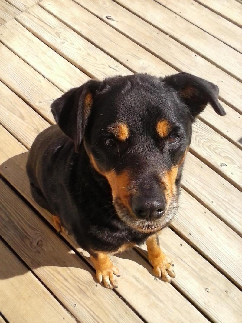 Adopt Sage On Rottweiler Rescue Rottweiler Dog Dogs Puppies