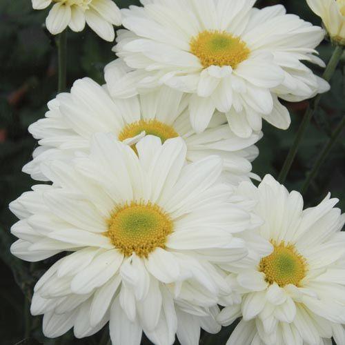 Chrysanthemum Cream Enbee Wedding Chrysanthemum Flower Meanings Hardy Mums