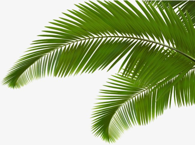 Green Coconut Leaves Coconut Clipart Cartoon Hand Painted Png Transparent Image And Clipart For Free Download Coconut Leaves Leaf Photography Leaf Images