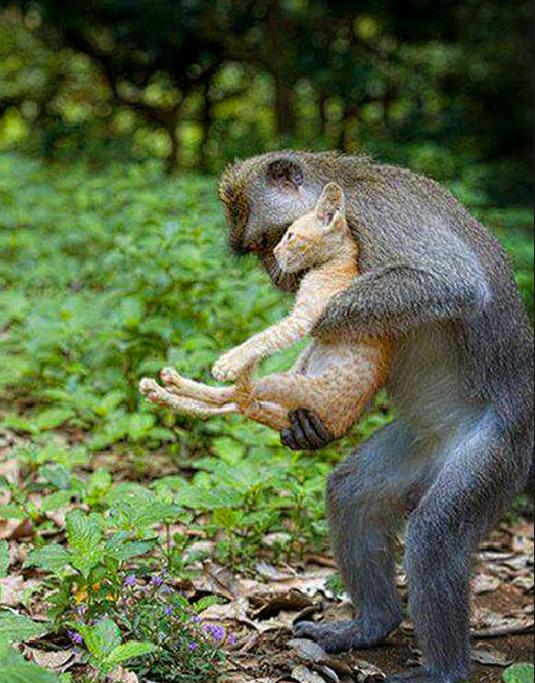 Un macaco selvático de cola larga, protege a un gatito.