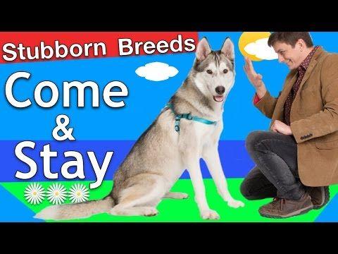 How To Train Your Husky To Stay Teach Dog Tricks Dogs Dog