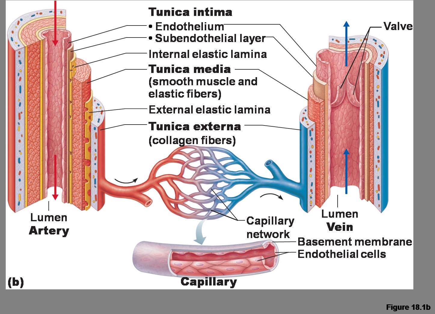 Artery And Vein Diagram