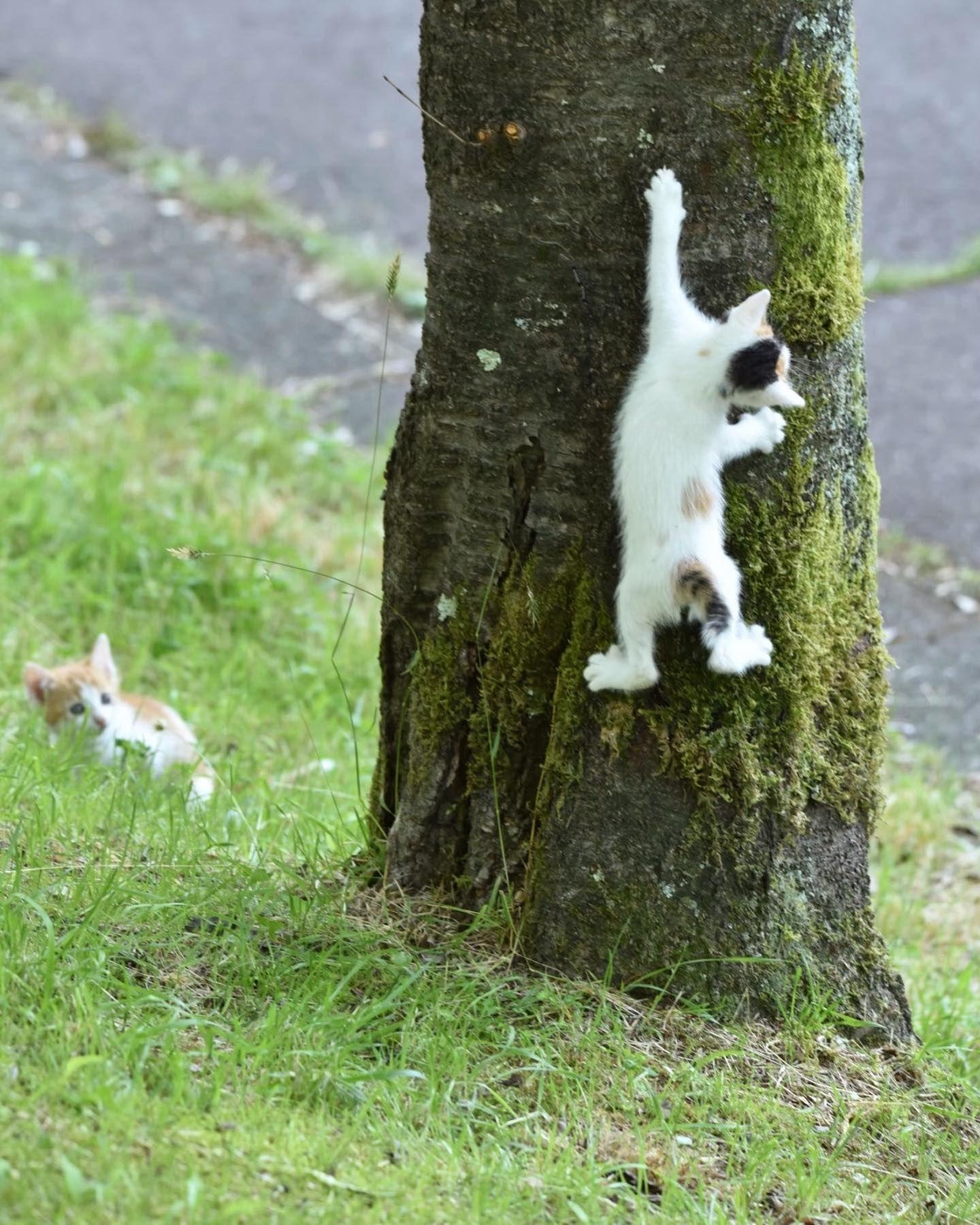 climbing🐈 . #catlover #catstagram #catstocker #kitty #animal #instagramjapan #cat #ねこのきもち #猫 #ポートレート #野良猫 #のら猫 #外猫 #ねこ部 #ねこ #猫部 #nikon #猫好きな人と繋がりたい #🐈 #nekoclub #lovers_nippon #ig_myshot #icu_japan #cats_of_instagram #ふわもこ部 #東京カメラ部 #ファインダー越しの私の世界 #写真好きな人と繋がりたい #tokyocameraclub #僕らの場所は言わにゃいで cats_of_instagram catloversclub catstocker