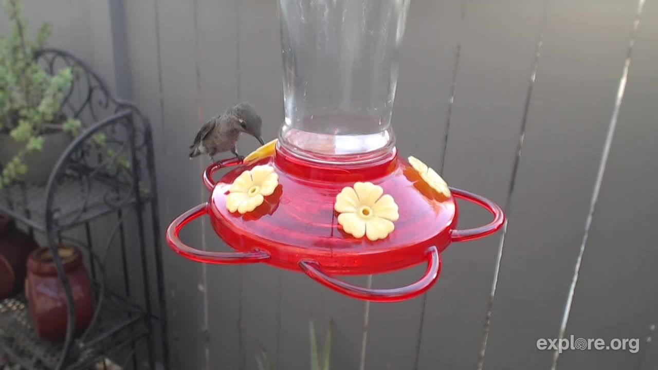 i m watching the bella hummingbird nest cam on explore org