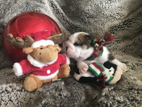 Litter Of 5 English Bulldog Puppies For Sale In Victorville Ca