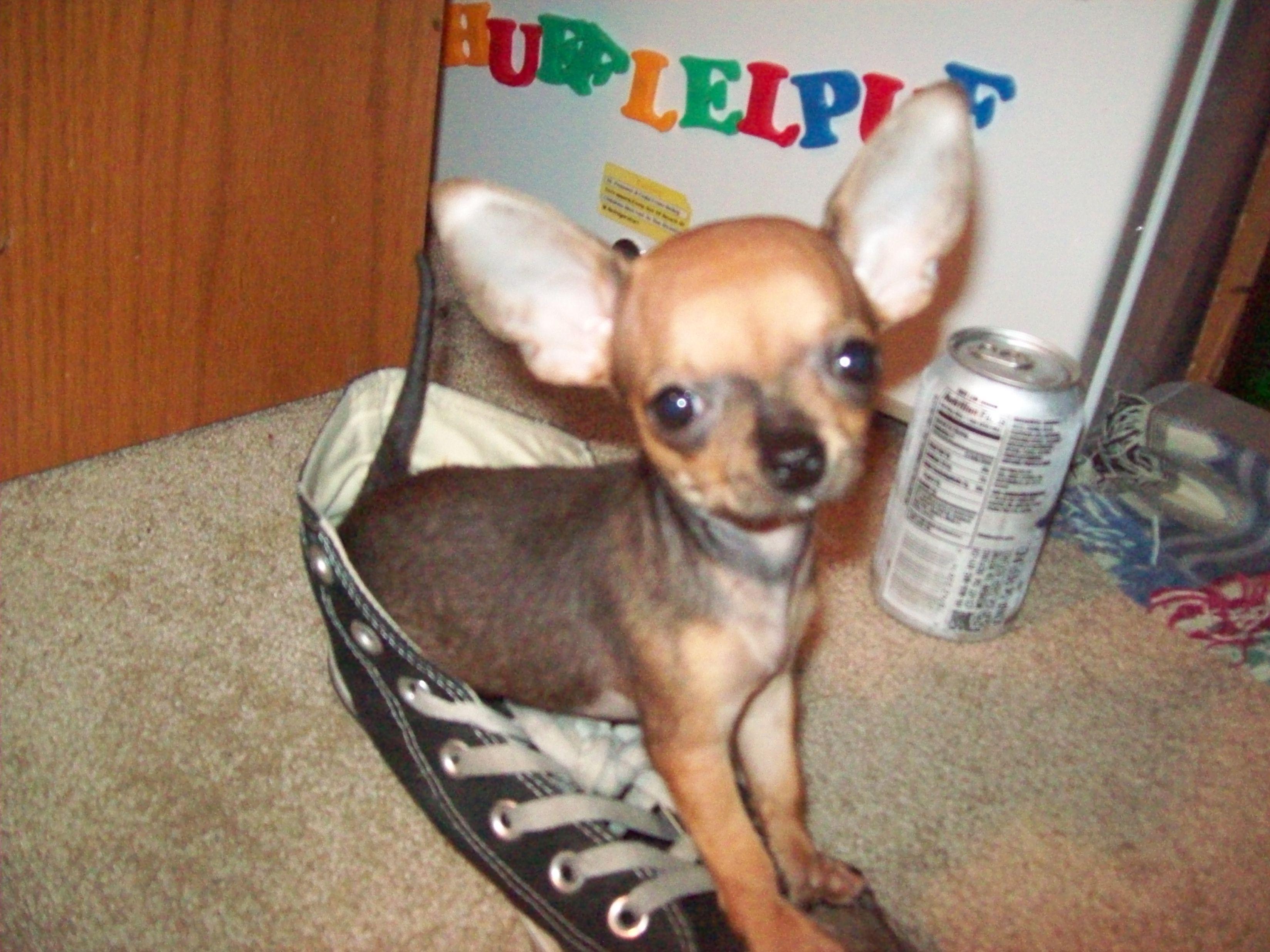 Ellanor The Cute Chihuahua Puppy Chihuahuatraining Chihuahua