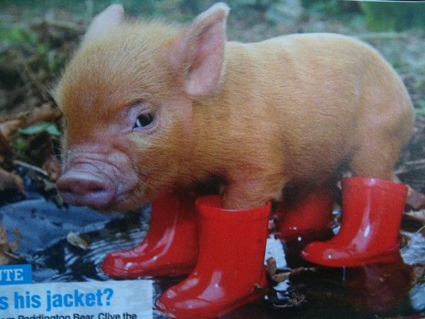 Teacup pigs are simply the cutest. Description from ...