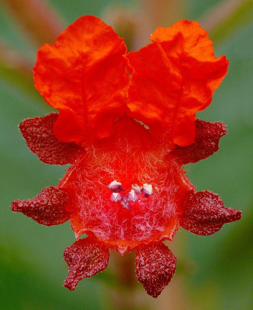 Cuphea Oreophila 2 Perennial Flowering Plants Flowering Plants