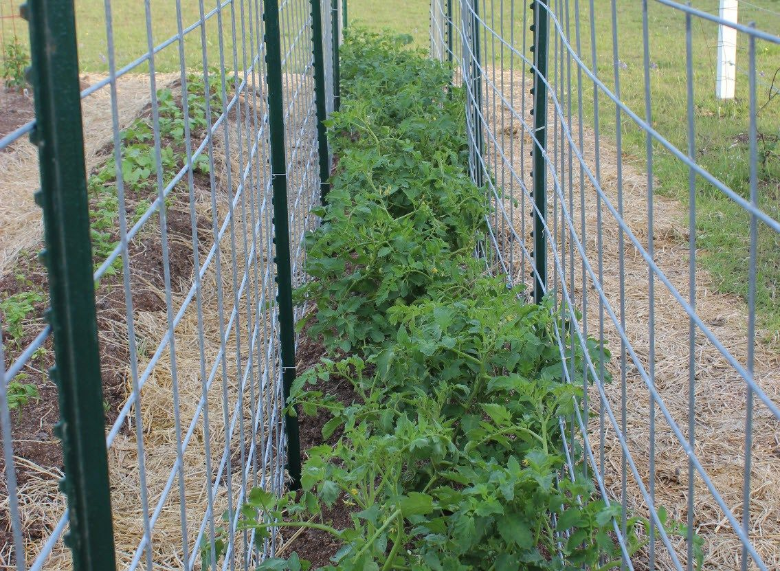 i grow my tomatoes between two rows of cattle panels. Black Bedroom Furniture Sets. Home Design Ideas