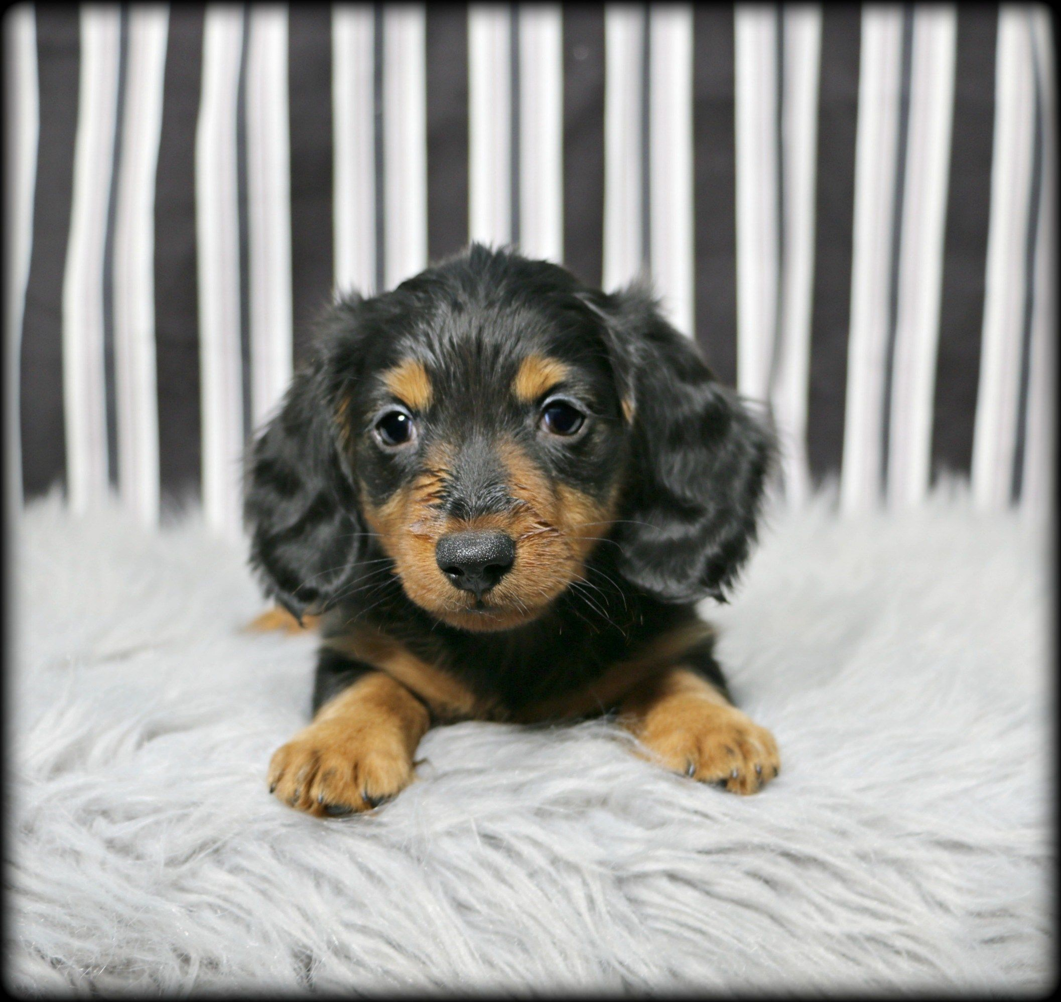 Petland Overland Park Has Dachshund Puppies For Sale Check Out