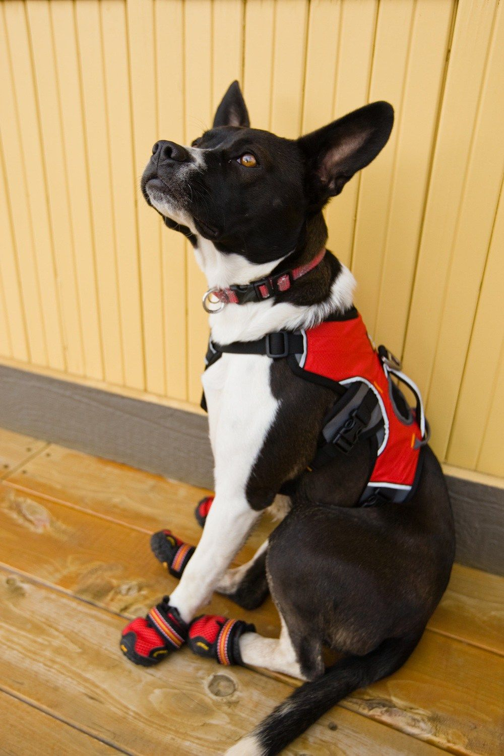Service Dog Gear From Head To Tail Service Dogs Gear Dog Gear