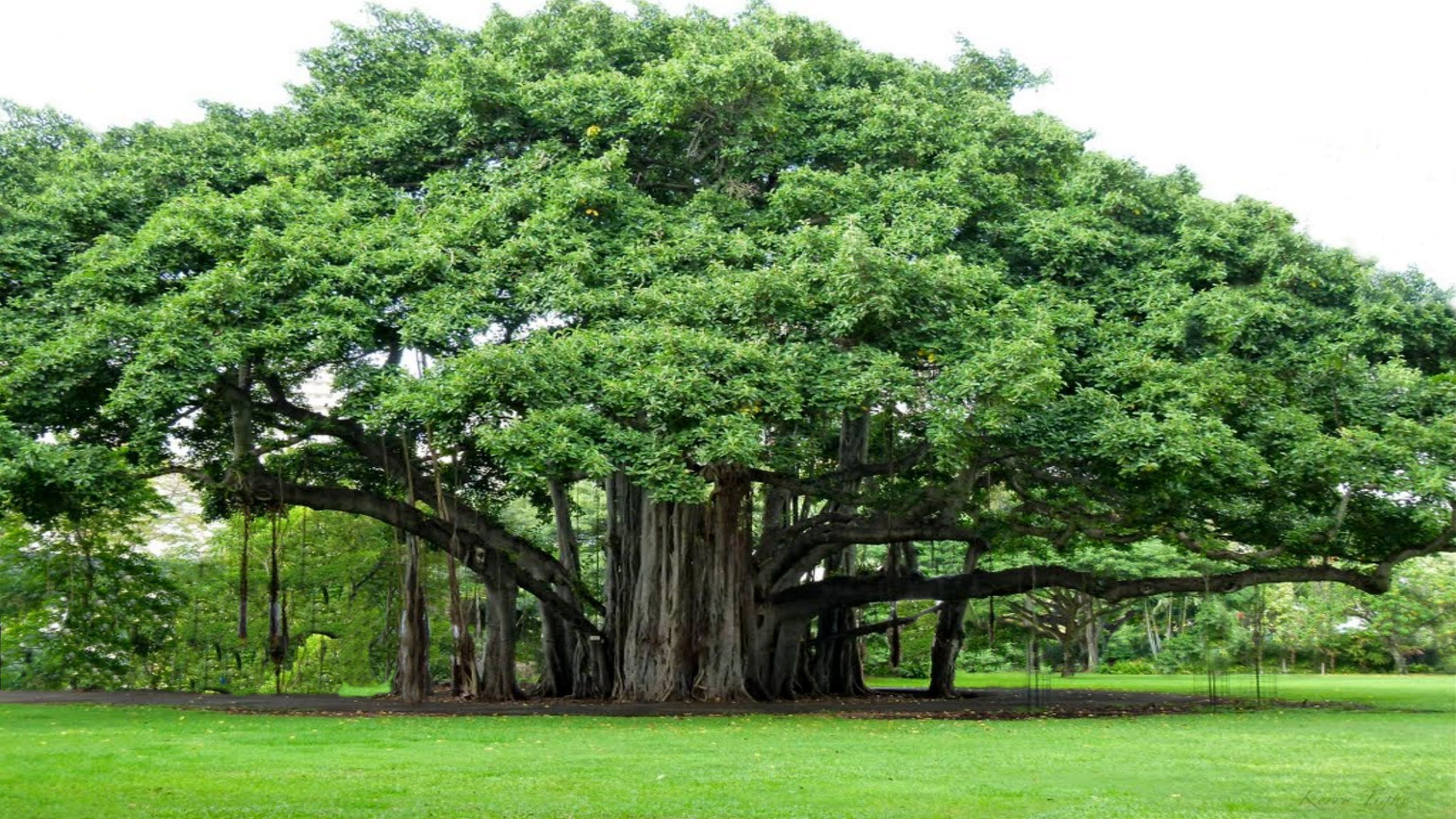 Strangler fig Banyan Tree YouTube Trees to plant