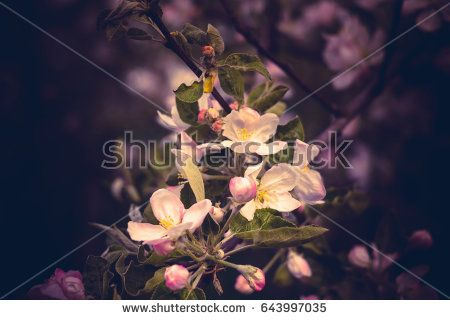 Fresh soft pink flowers blooming on apple tree branches in spring, vintage close up.