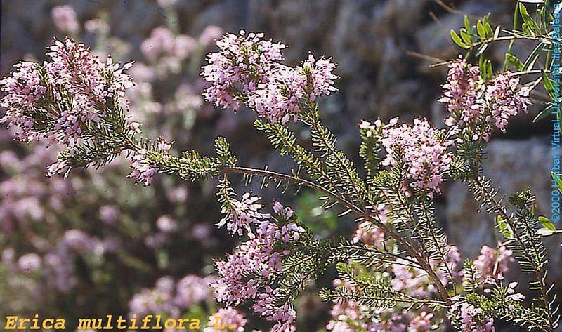 Xiprell Erica Multiflora Greek Flowers Flower Essences Plants