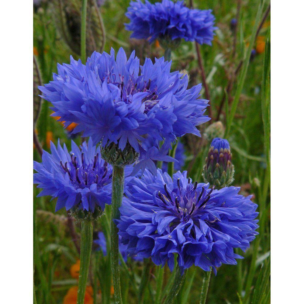 Centaura Cyanus Dwarf Blue Cornflower Gardenpost Flower Seeds Bachelor Button Flowers Flowers