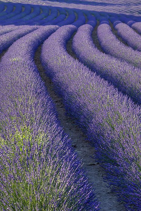 Curvey Lavender Field near Roussillon in the Luberon, Provence France © Brian Jannsen Photography