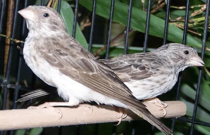 Pin Oleh Informasi Komunitas Kicau Mani Di Perawatan Burung Burung Abu Abu Gelap Barang Koleksi