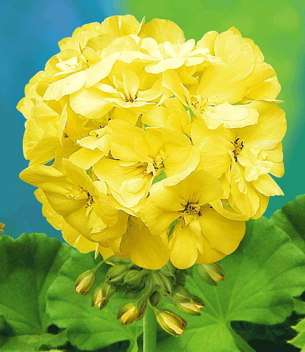 Yellow Geraniums Geranium Pac First Yellow Geraniums Bij
