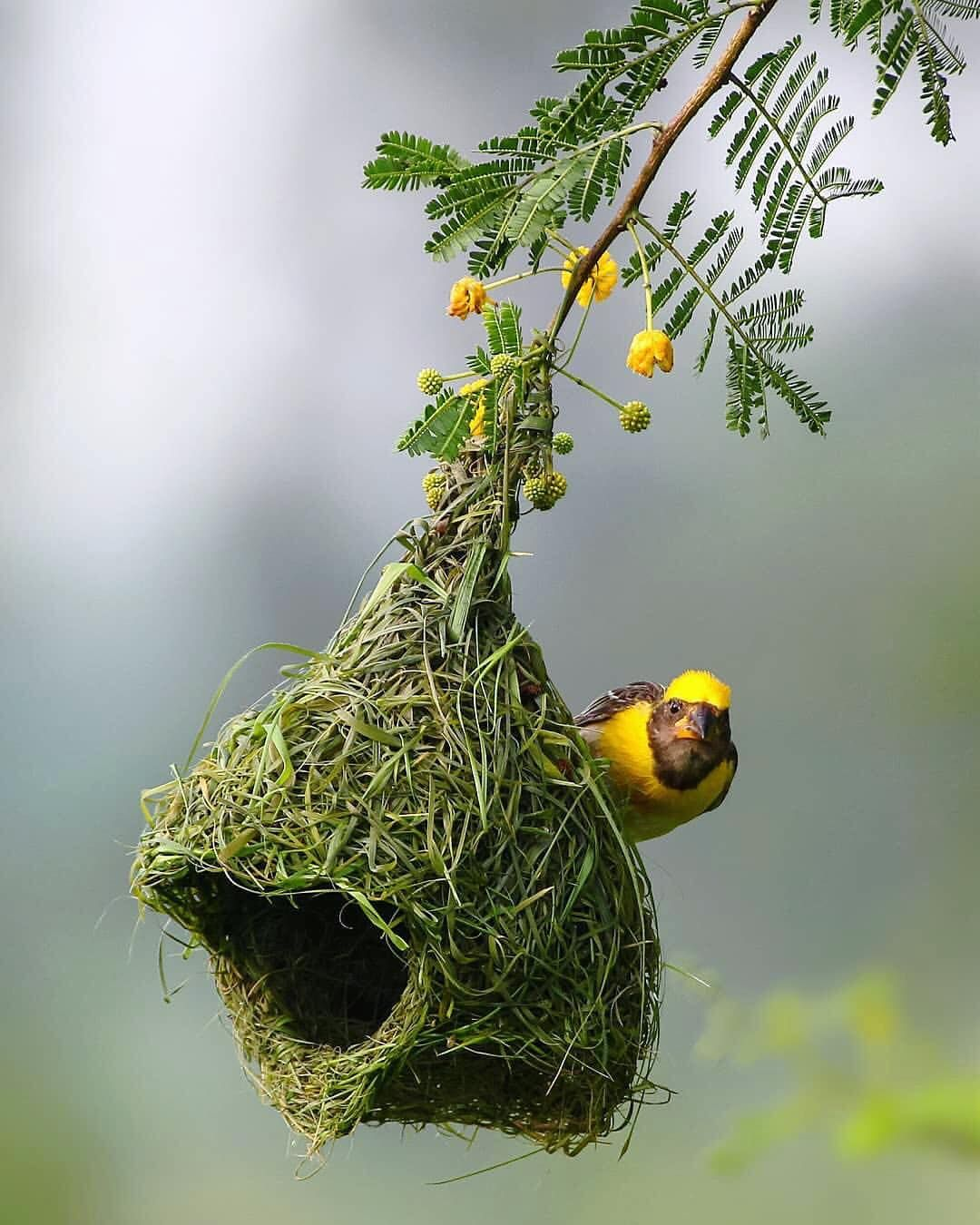 Peek A Boo Baya Weaver And Its In Progress Nest Posing For Me