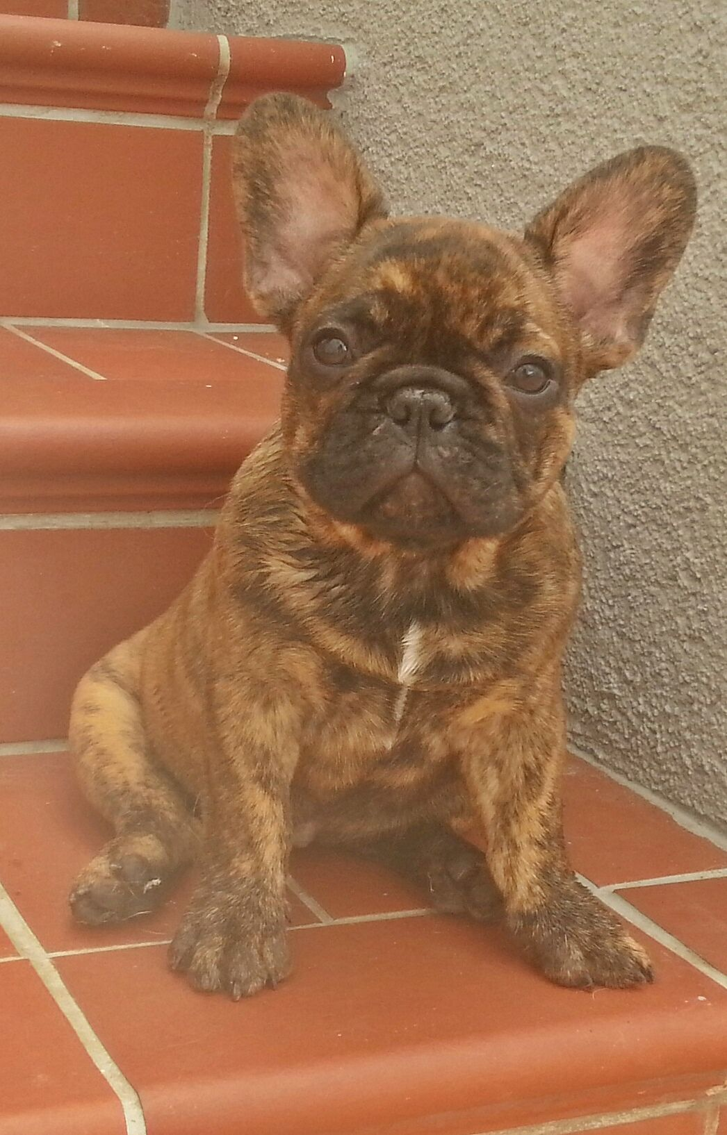 Bubbles 15 Wochen Http Bit Ly 1iy801a Our Smartphone App Http Bit Ly 1ewsxcp Brindle French Bulldog French Bulldog Bulldog Puppies